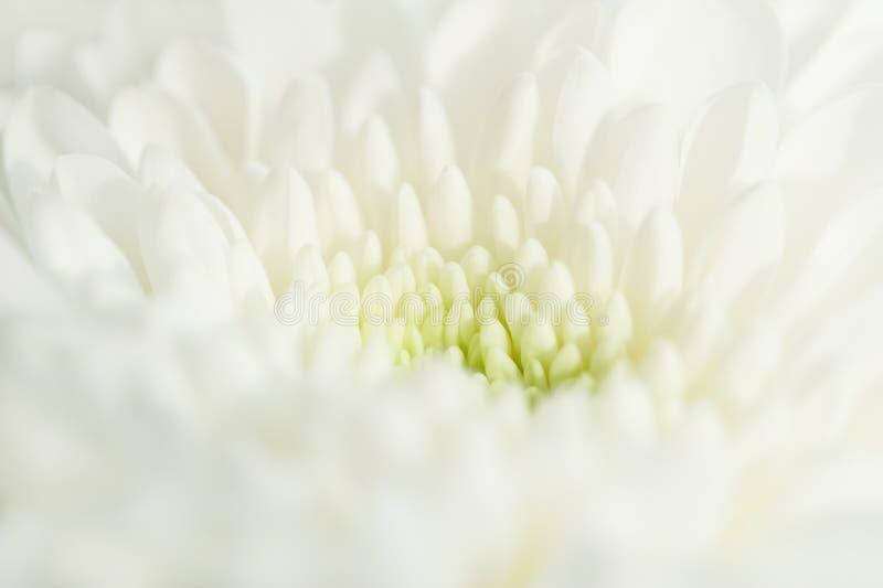 Macro image of white chrysanthemum flower. Selective focus stock photography