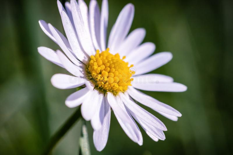 Macro image of a white daisy with pollen and green bokeh. royalty free stock images