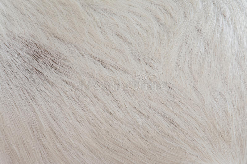 Macro image white wool of goat. Abstract background macro image white wool of goat royalty free stock images
