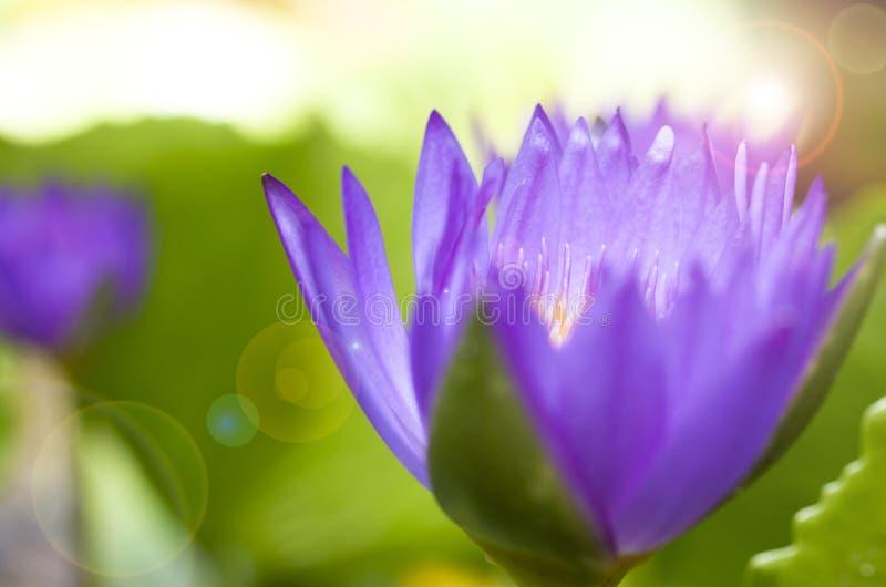 Macro images en gros plan des pétales pourpres et roses de lotus dans le style de zen photographie stock libre de droits