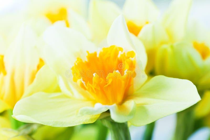 Macro immagine del fiore della molla, giunchiglia, narciso. immagine stock