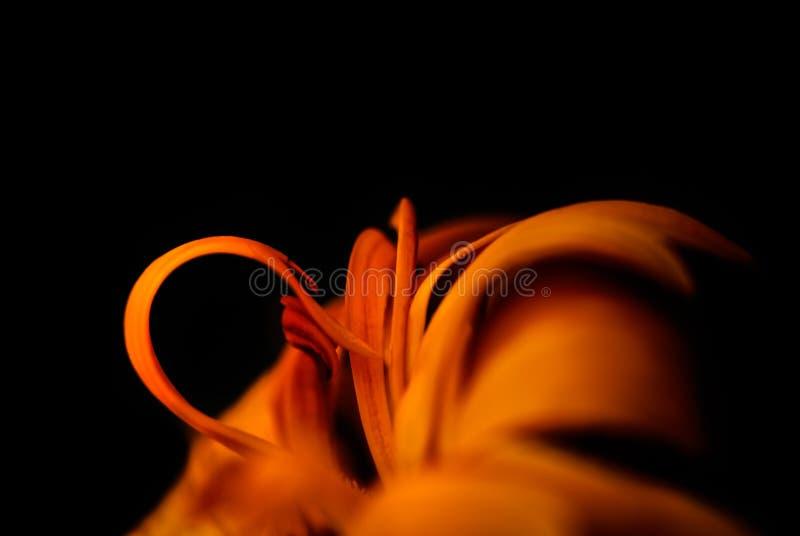 Macro immagine della calendula arancio (tagete) fotografia stock libera da diritti