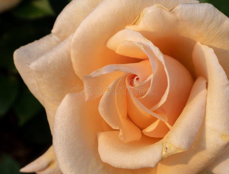 Macro immagine della rosa ?tramonto di inverno ? immagini stock