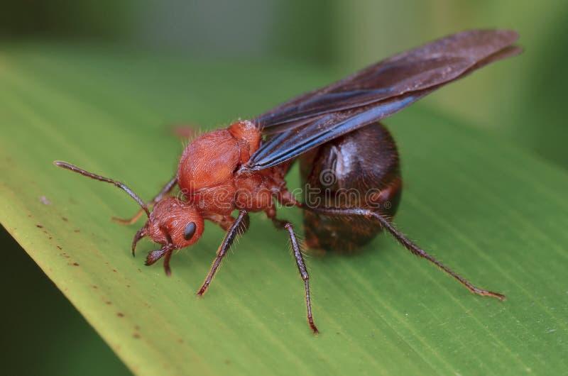 Macro immagine di una formica alata immagini stock