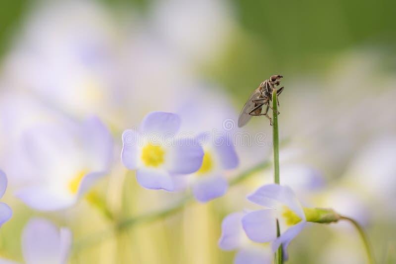 Macro insecte sur la lame de l'herbe dans le domaine des fleurs image stock