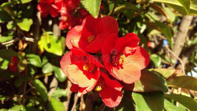 Macro japonesa roja del membrillo floreciente imagen de archivo libre de regalías