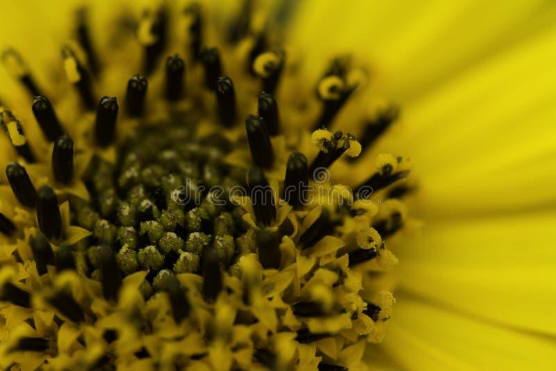 Macro jaune lumineux de fleur photos libres de droits