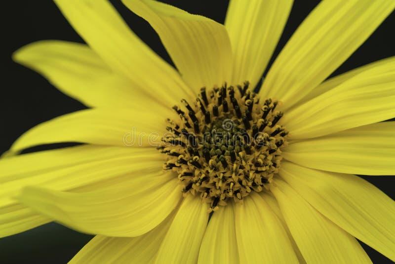 Macro jaune lumineux de fleur image libre de droits