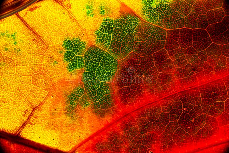 Macro jaune orange rouge de vert de feuille d'automne de couleur photographie stock