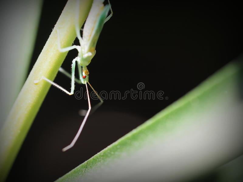 Juvenile Assasin Bug. A tiny juvenile Assasin Bug with an alien looking head and red eyes. The strong beak found on Assassin bugs is used to repeatedly, and royalty free stock photography