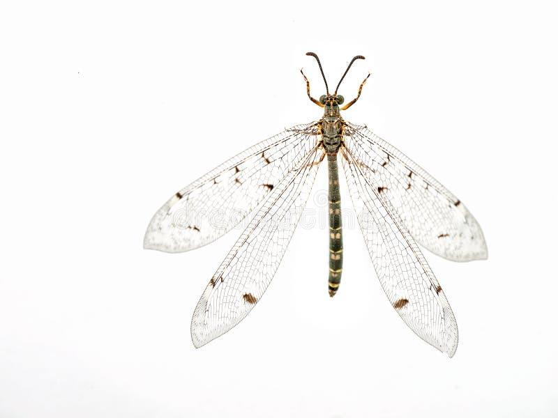 Macro lacewing do inseto do Ant-lion foto de stock