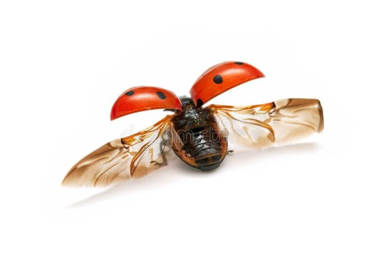 Macro Lady Bug Royalty Free Stock Image