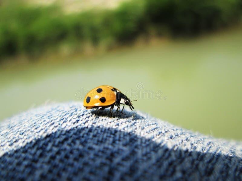 A macro of ladyBird sitting on jeans stock photo