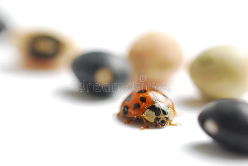 Macro Ladybug Royalty Free Stock Photos