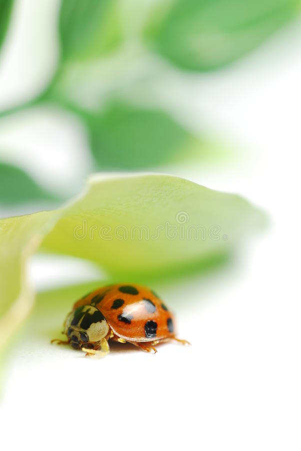 Download Macro ladybug stock photo. Image of leaf, garden, moist - 21754656