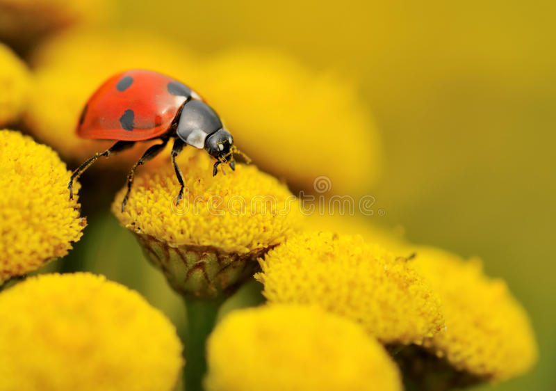 Macro of a ladybug on a yellow flower royalty free stock images