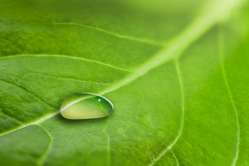Macro of a large drop of transparent rain water on a green leaf royalty free stock photo