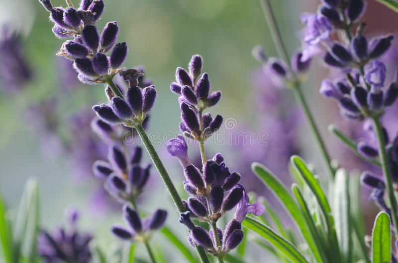 Macro of lavender flowers. And twigs royalty free stock photography