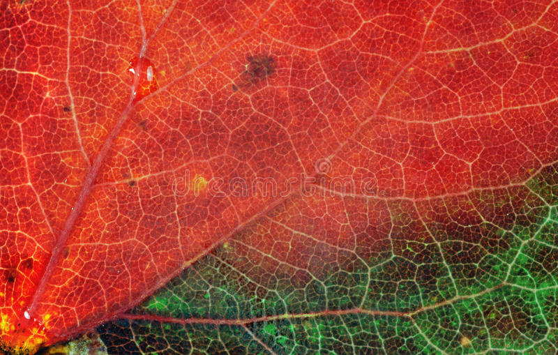 Download Macro Leaf stock image. Image of lines, autumn, beauty - 27060931