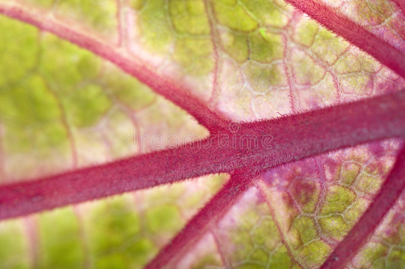 Macro of a leaf. Closeup on the structure of a leaf with red/purple veins