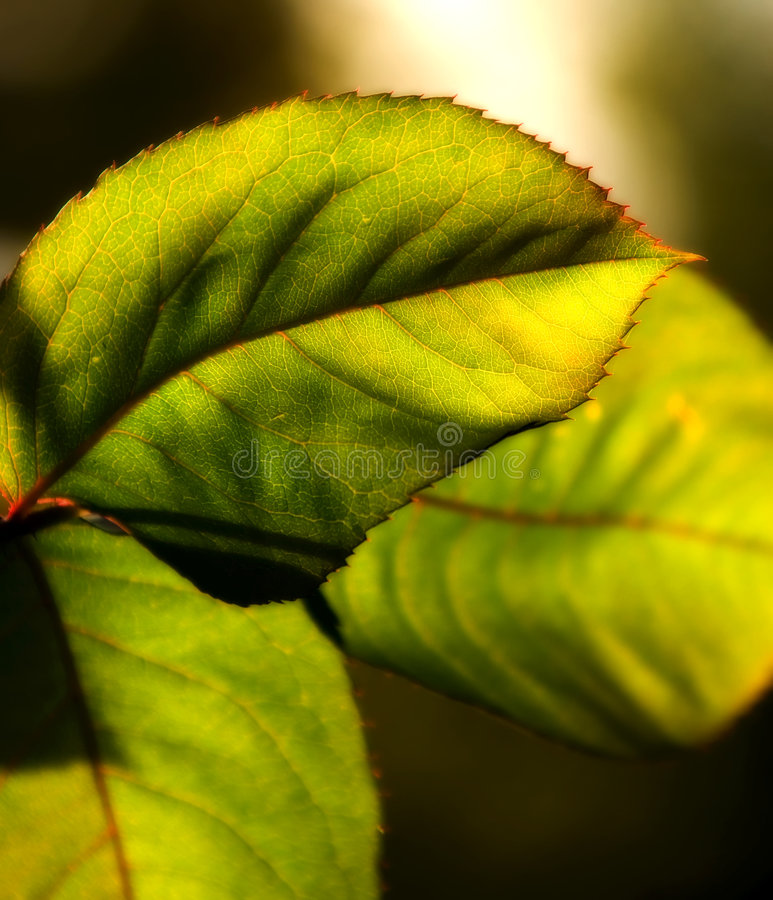 Download Macro of leaves stock image. Image of natural, glowing - 2337301