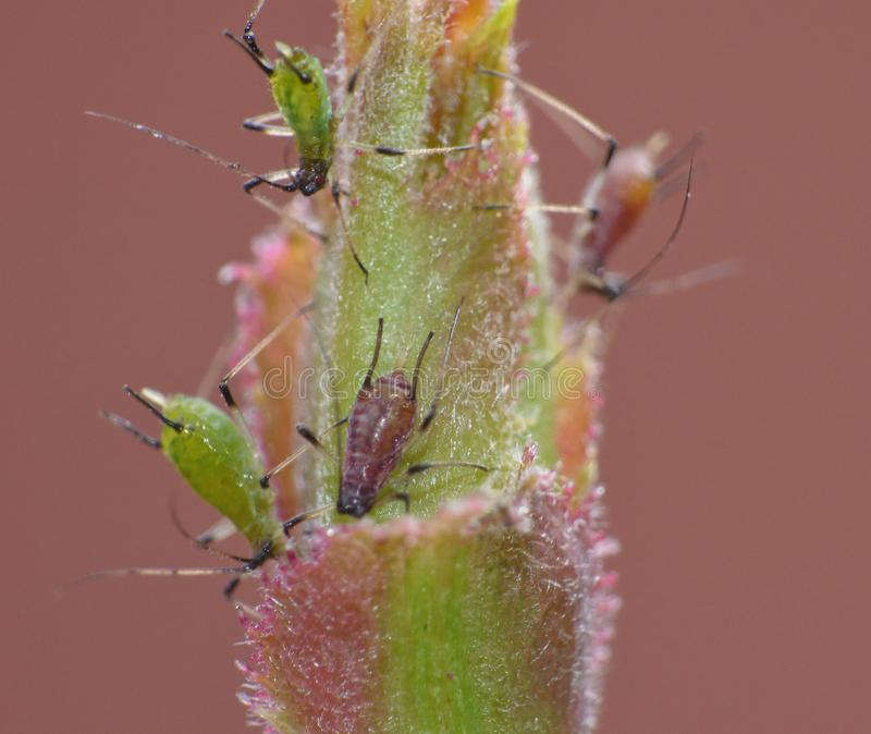 Macro close up of aphid / nymphs photo taken in the United Kingdom stock photos