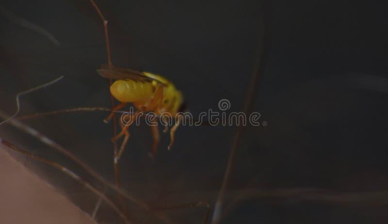 Macro lens close up detailed shot of a tiny yellow fly Thaumatomyia frit flies or grass flies belonging to the family Chloropidae royalty free stock photos