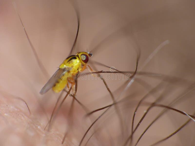 Macro lens close up detailed shot of a tiny yellow fly Thaumatomyia frit flies or grass flies belonging to the family Chloropidae stock image