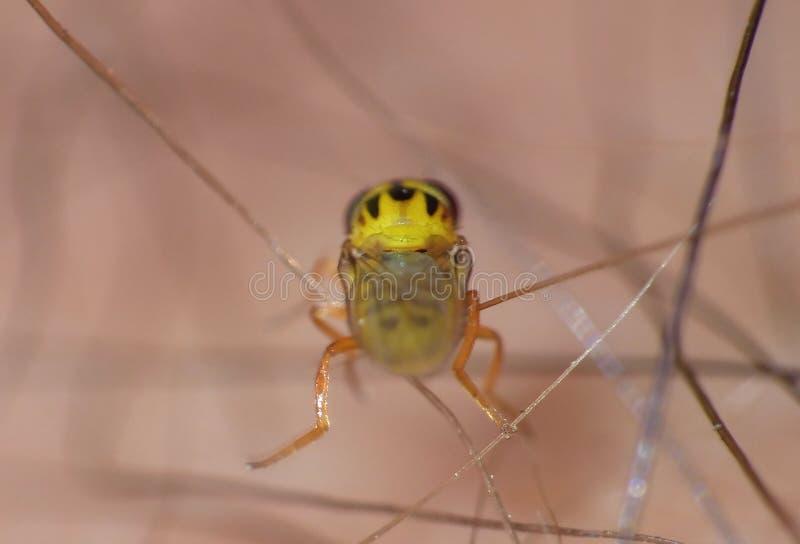 Macro close up detailed shot of a tiny yellow fly Thaumatomyia frit flies or grass flies belonging to the family Chloropidae. Macro lens close up detailed shot royalty free stock photos
