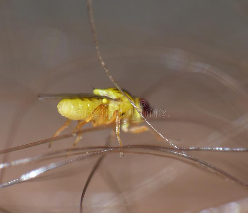 Macro close up detailed shot of a tiny yellow fly Thaumatomyia frit flies or grass flies belonging to the family Chloropidae. Macro lens close up detailed shot royalty free stock image