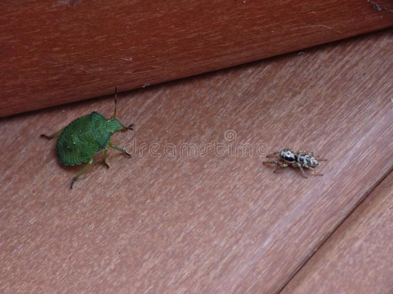 Macro lens close up of a green shield bug / Stink bug VS Spider, photo taken in the UK. Macro lens close up of a Spider VS green shield bug / Stink bug, photo royalty free stock photography