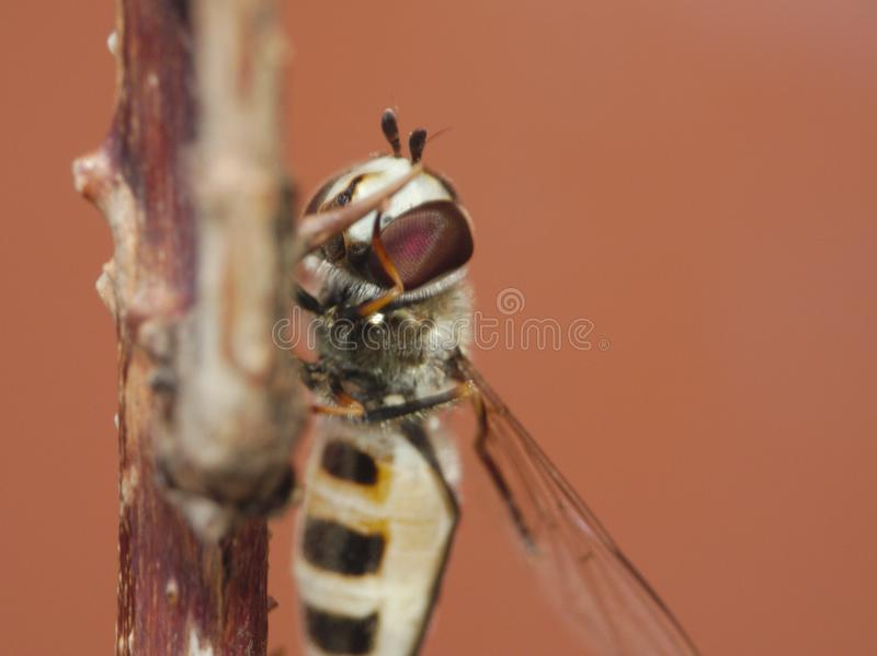 Macro lens close up of a hoverfly collecting pollen from the garden, photo taken in the UK stock photos