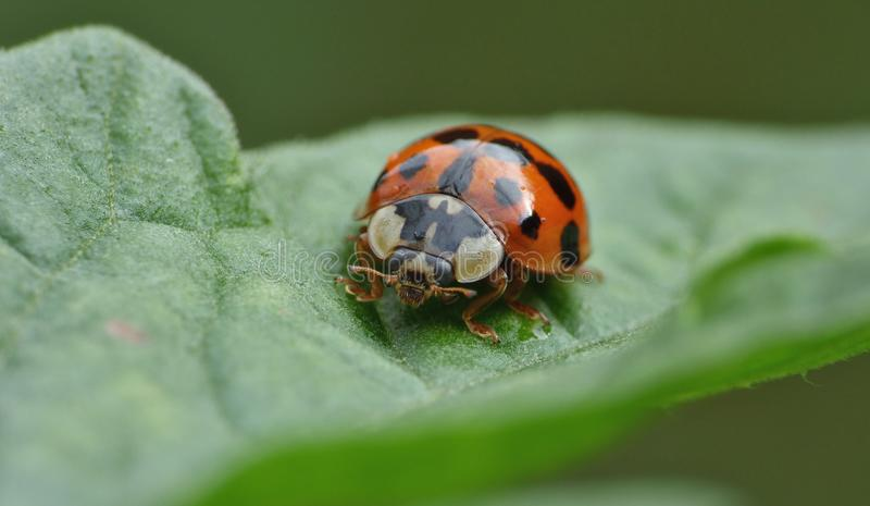 Macro close up shot of a ladybird / ladybug in the garden, photo taken in the UK stock images