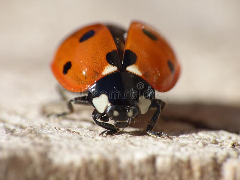 Macro close up shot of a ladybird / ladybug in the garden, photo taken in the UK royalty free stock photos