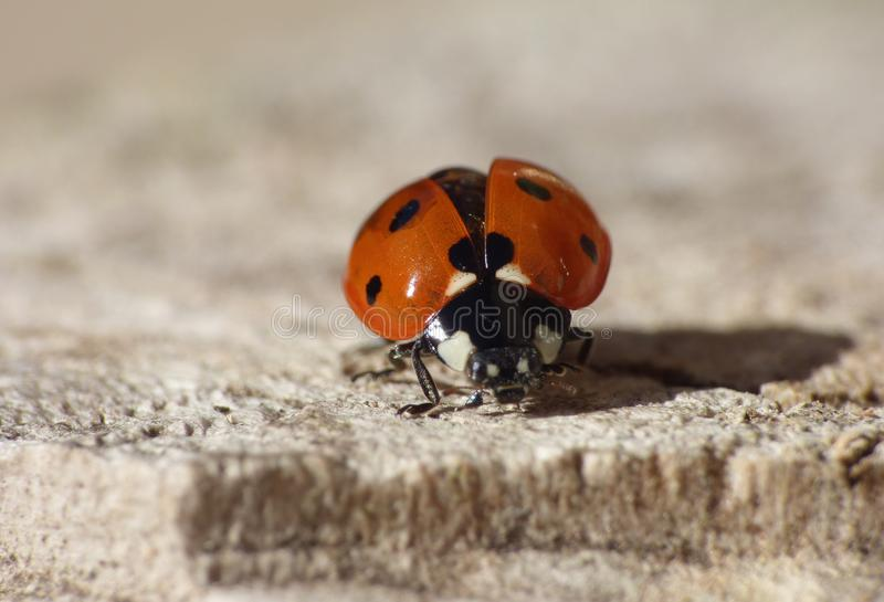 Macro close up shot of a ladybird / ladybug in the garden, photo taken in the UK stock photos