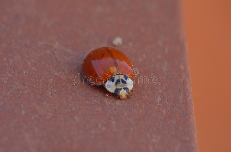 Macro close up shot of a ladybird / ladybug in the garden, photo taken in the UK royalty free stock images