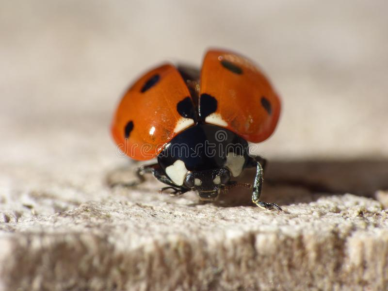 Macro close up shot of a ladybird / ladybug in the garden, photo taken in the UK royalty free stock photography