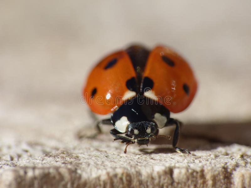 Macro close up shot of a ladybird / ladybug in the garden, photo taken in the UK royalty free stock image