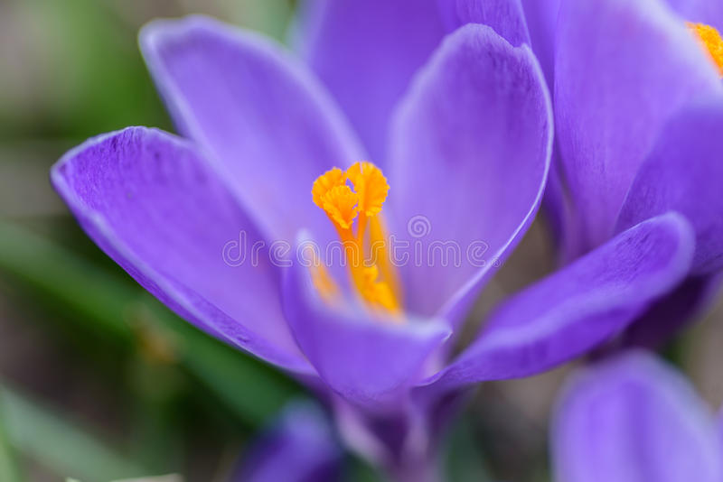 Macro lens closeup of a single purple crocus flower. Selective focus low angle perspective of a purple crocus flower with open petals and yellow center or stamen royalty free stock photo
