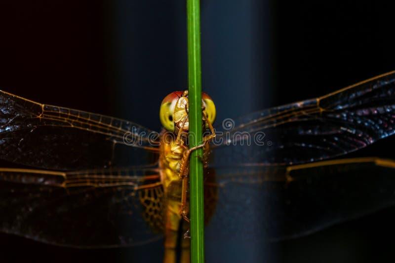 Macro, libélula, hierba del árbol, fondo negro imagen de archivo