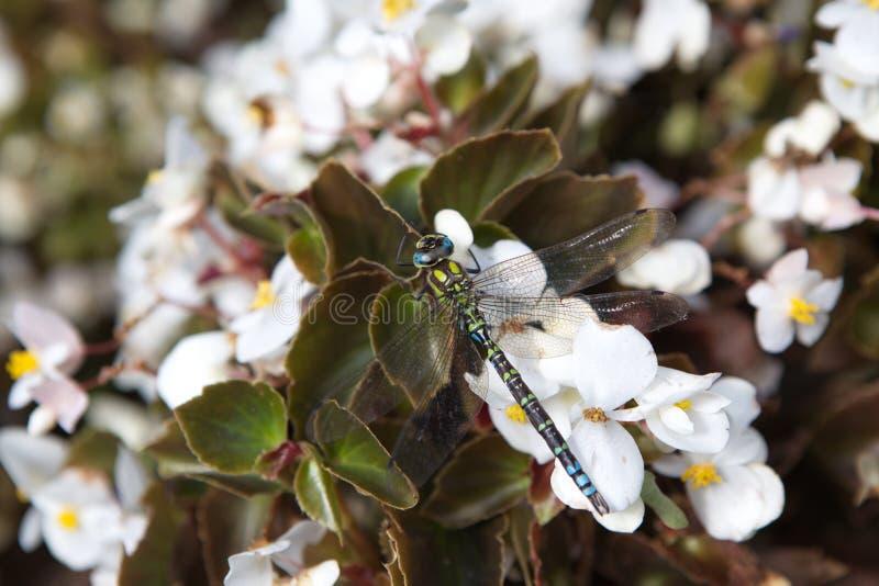 Macro libellula fotografia stock