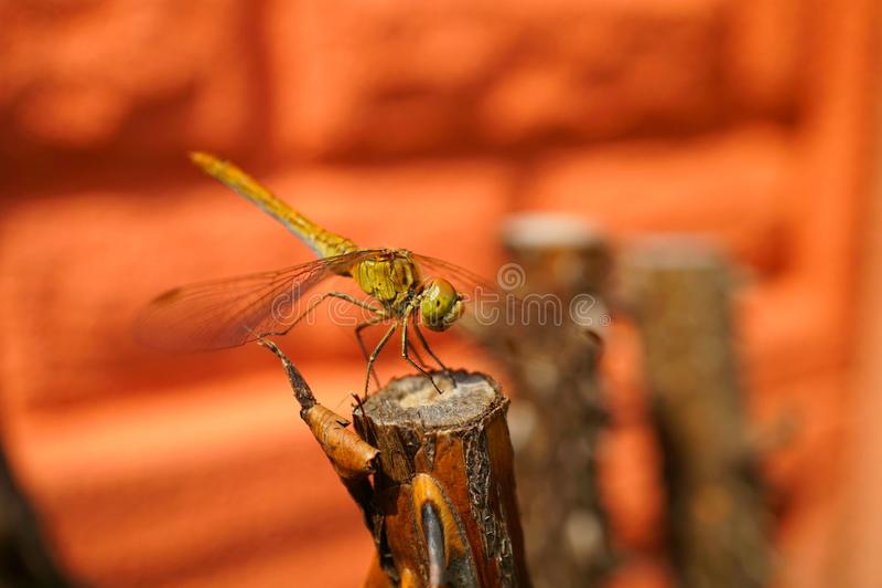 Macro libellule étonnante image libre de droits