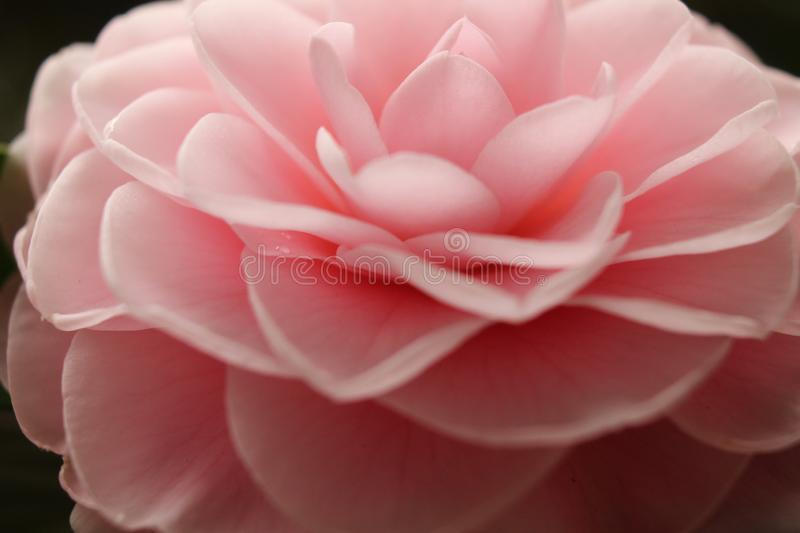 Macro Light Pink Peony met Light Shining royalty-vrije stock afbeelding