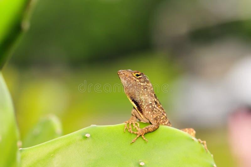 Macro lizard on cactus stock photo