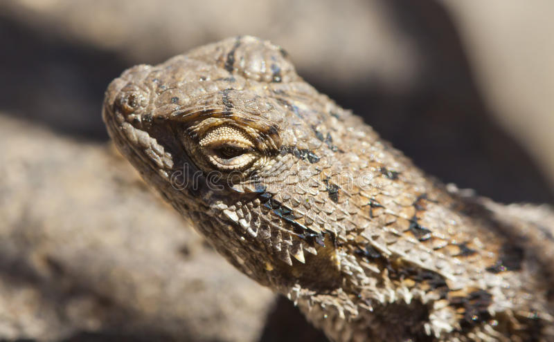 Macro Lizard On Rock Portrait Stock Photos