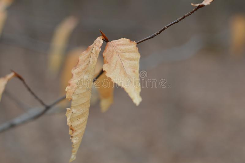 Macro look at the last fall leaves hanging till spring stock photos