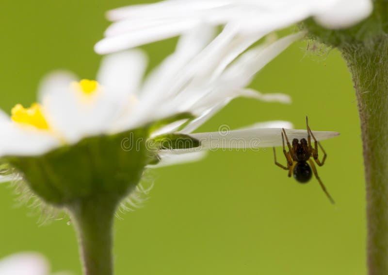 Macro marguerite extrême avec l'araignée très petite sous le pétale photos libres de droits