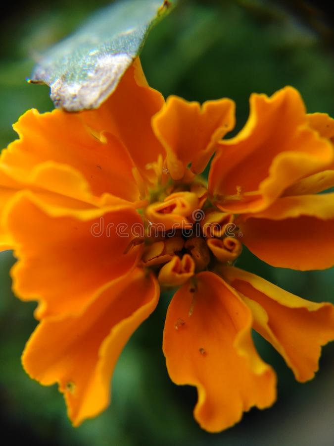 Macro Marigold royalty free stock photos