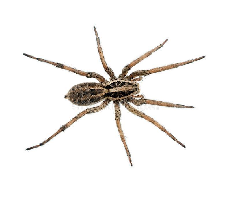 Macro melenuda grande de la araña aislada - Lycosidae foto de archivo libre de regalías