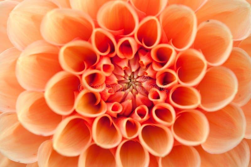 Macro mening van oranje bloemdahlia royalty-vrije stock afbeeldingen